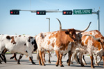 The Tom Thumb Texas Stampede Cattle Drive October 24